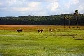 Cows in bahia — Stock Photo