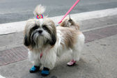 Funny Shih Tzu — Stock Photo