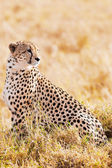 Cheetah — Stockfoto
