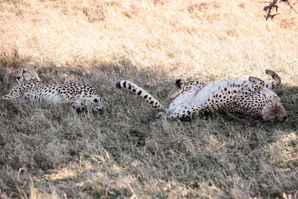 Cheetah n the  Masai Marra reserve in Kenya Africa — Stock Photo #9709994