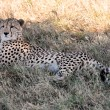 cheetah — Stock Photo #9710002