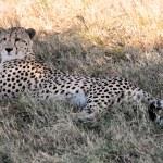Cheetah — Stock Photo #9710002