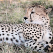 Cheetah — Stock Photo #9710007