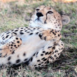 cheetah — Stock Photo #9710012