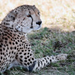 Cheetah — Stock Photo #9710016