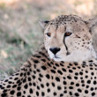cheetah — Stock Photo #9710019