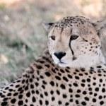Cheetah — Stock Photo #9710019