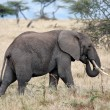Elephant — Stock Photo #9710041