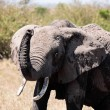 Elephant — Stock Photo #9710052
