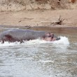 Happy Hippopotamus - Stockfoto