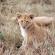 Lion cub — Stock Photo