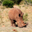 White Rhinoceros — Stock Photo #9710208