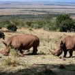 White Rhinoceros — Stock Photo #9710213