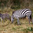 Royalty-Free Stock Photo: Grevy\'s Zebra