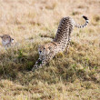 cheetah — Stock Photo #9710322
