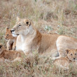 Female Lion and lion cub - Stock Photo