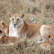 Stock Photo: Female Lion and lion cub