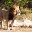 Female and male Lion — Stock Photo #9710343