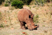 White Rhinoceros — Stock Photo