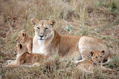Female Lion and lion cub — Stock Photo