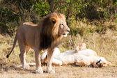 Leone femmina e maschio — Foto Stock