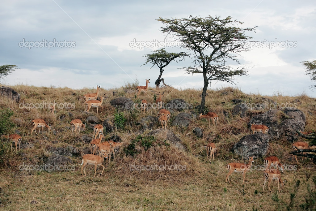 Impala Aepyceros melampus grazing in the beautiful reserve of masai mara in kenya africa  Stock Photo #9710093