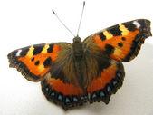 """Butterfly """"Vanessa atalanta"""" — Stock Photo"""