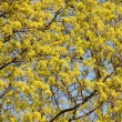 Stock Photo: Blossoming crone of tree