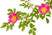 Blossoming dogrose — Stock Photo