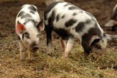 Pair of piglets — Stock Photo