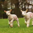 New Spring Lambs — Stock Photo