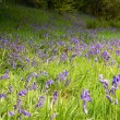 Stock Photo: Spring time - Bluebells