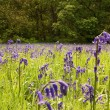 Spring time - Bluebells — Stock Photo