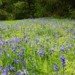 Bluebells - spring time — Stock Photo