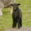 Herdwick Lamb — Stock Photo