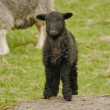 Stock Photo: Herdwick Lamb
