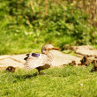 Mallard Duck and ducklings — Stock Photo