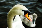 Adult Mute Swan - England — Stock Photo