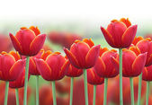 Spring Tulip Flower Background — Stock Photo