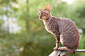 Cornish rex gray cat — Stock Photo