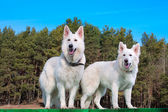 To white Swiss Shepherds — Foto Stock