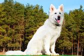 Swiss Shepherd dog sitting over forest — Stock Photo