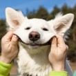 Swiss Shepherd dog smiles — Stock Photo #9991714