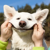 Swiss Shepherd dog smiles — Stock Photo