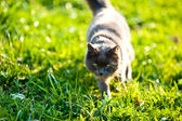 Cat Approaching Across Grass — Stock Photo