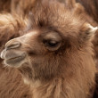 Baby bactrian camel in nubra valley, ladakh - Stock Photo