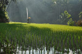 Prayer flag in the rice fields — Stock Photo