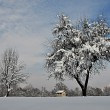 Stock Photo: Solitary tree laden with snow in the countryside