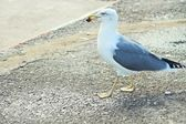 Seagull eating — Stock Photo