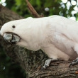 Stock Photo: White cockatoo